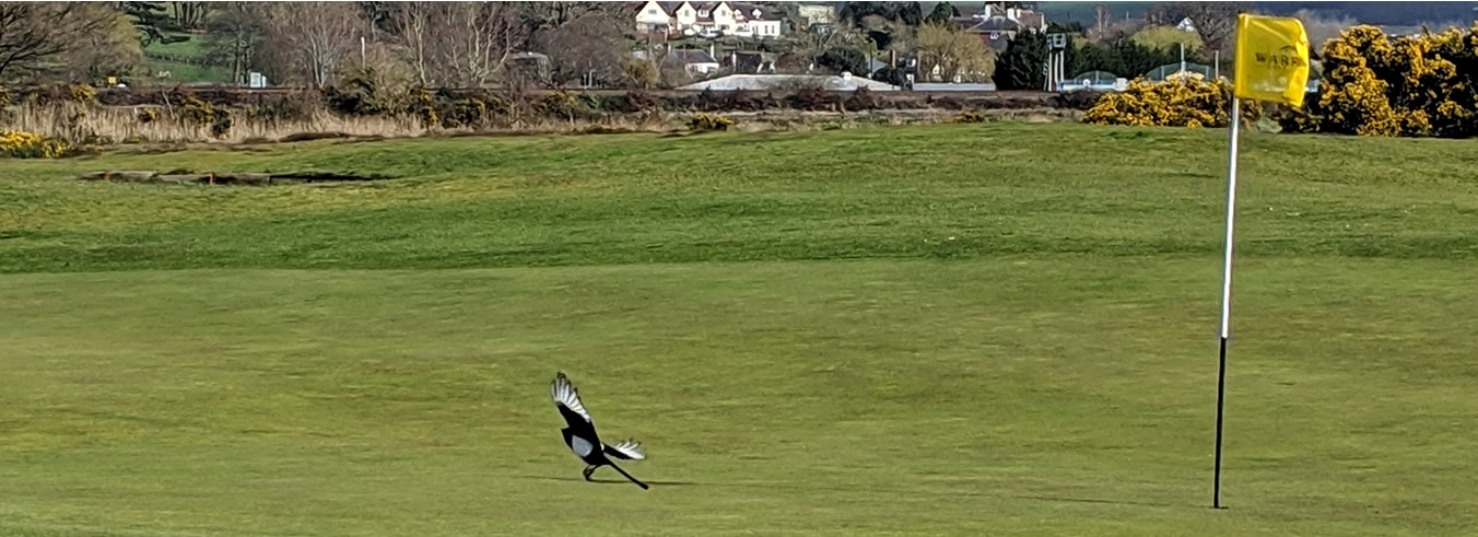 Magpie landing on a green
