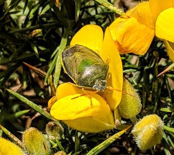 Gorse Shield Bug