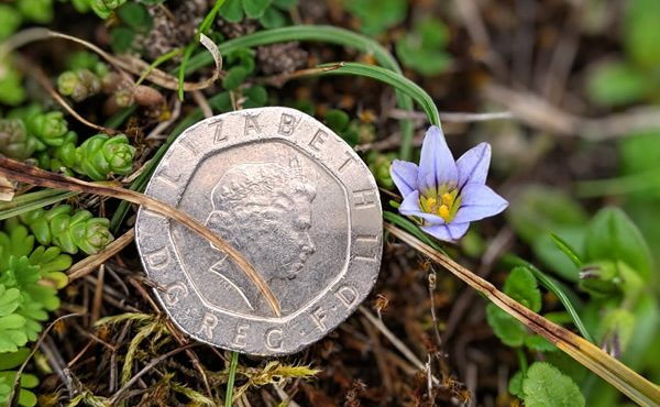 Warren Crocus flower with 20p piece for scale