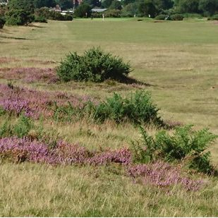 10th fairway with heather