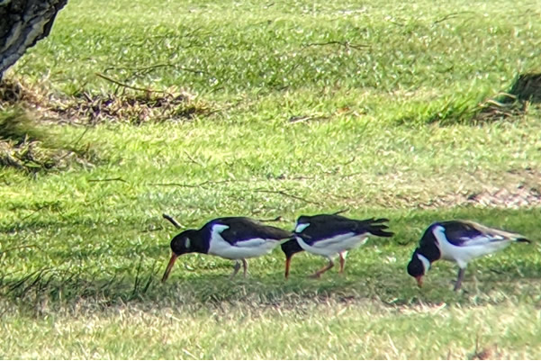 Oystercatchers on right near the 12th